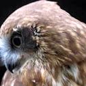 Bobook owl