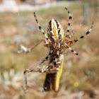 Araneid spider with prey