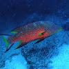 Lyretail grouper