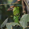 White-cheeked Barbet or Small Green Barbet