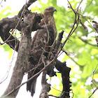 Female Oriental Honey Buzzard