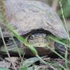 Tortuga de pantano, Mexican mud turtle