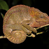 Elephant Ear Chameleon
