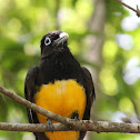 Black-headed Trogon (female)