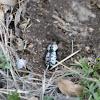 Southwestern Ironclad Beetle