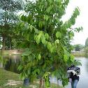 Petaling Tree