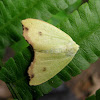 Pale Leaf Moth