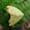 Pale Leaf Moth