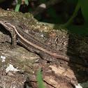 Rosebelly Lizard