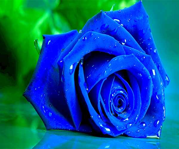 Blue Rose Live Wallpaper Android App Screenshot