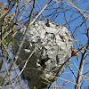 Bald Faced Wasp Nest