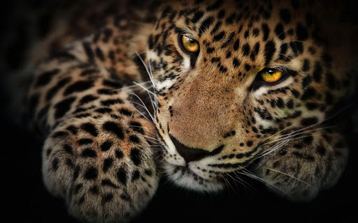 Americas Leopard Wallpaper