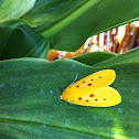 Yellow Tiger Moth