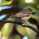 Yellow-rumped Warbler (female Audubon's)