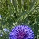 Common Cornflower