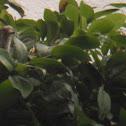 Baby Common Kingfisher