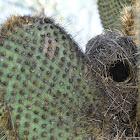 Galapagos Cactus Finch Nest