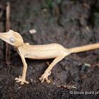 Lined lizard