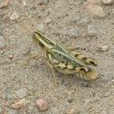 Thistle Grasshopper