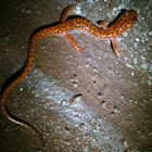 Spotted Tail Cave Salamander