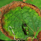 Green Soldier Fly