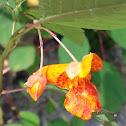 Orange Balsam