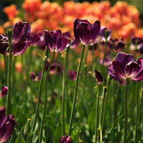 Purple Tulips by Troy Snider - Flowers Flower Gardens ( blurry background, green, tulips, flowers, spring, garden, sun, Spring, springtime, outdoors )