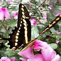 Thoas Swallowtail.