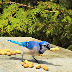 Bluejay by Char Robertson - Animals Birds ( peanut, fly, blue, beautiful, bluejay )