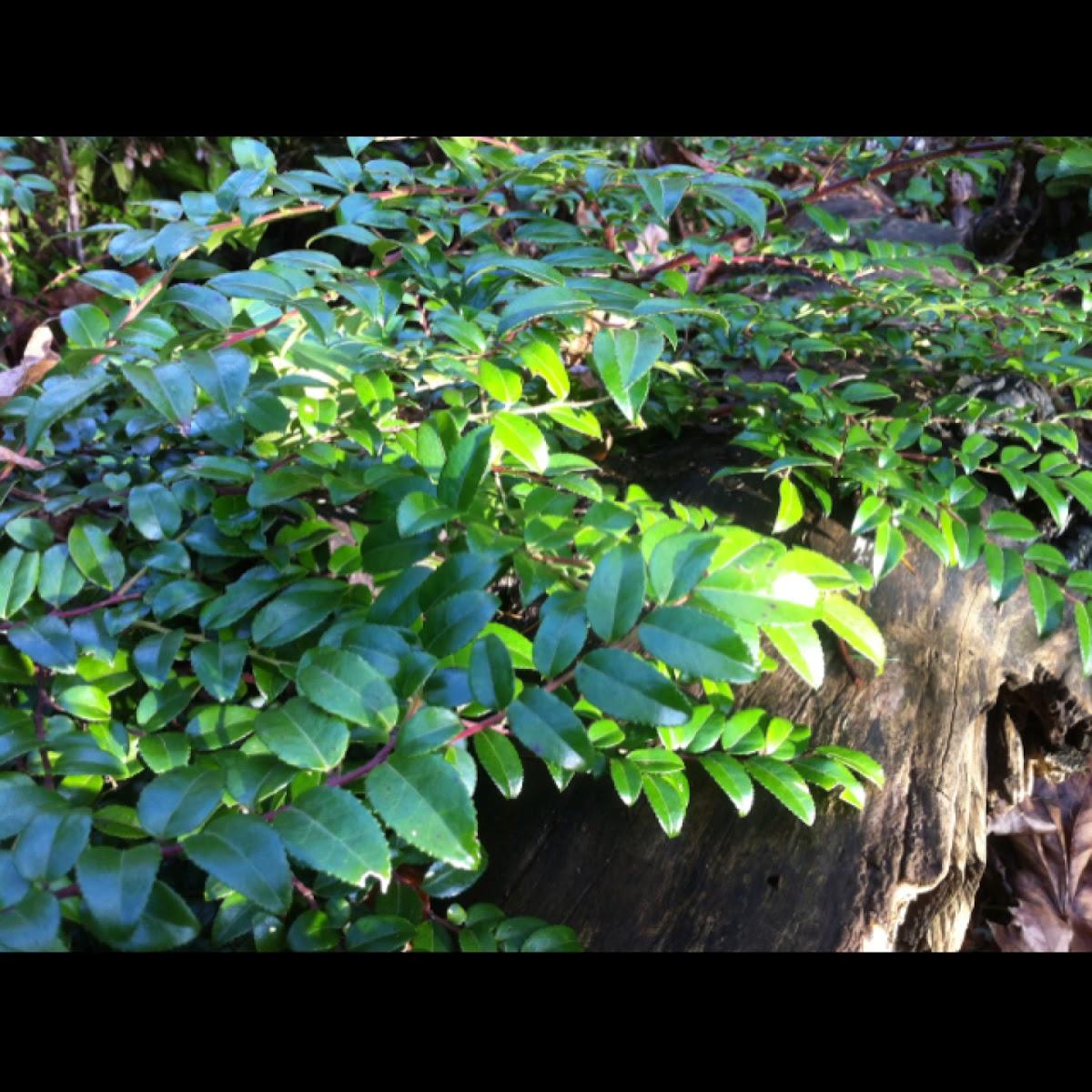 Evergreen huckleberry
