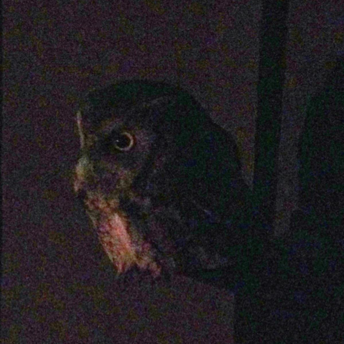Eastern Screetch Owl