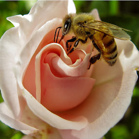 Bee in the rose by Alan Cline - Animals Insects & Spiders ( rose, petals, bee, flower, honey, honey bee )