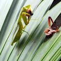 leaf mantis