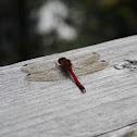 Autumn Meadowhawk Dragonfly