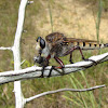 Giant robber fly (male)