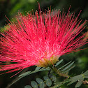 Calliandra sp