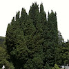 Taxus baccata 'Fastigiata' (Irish yew)