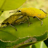 Gold Dust Weevils