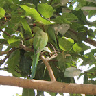 Indian Ringnecked Parakeet