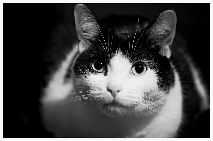 My Cat Tier Macro by Rachel Williams - Animals - Cats Portraits ( face, cat, animals, black and white, cute cat, white, cute, eyes, cats, macro, nature, whiskers, nature up close, bnw, black, eye, animal,  )