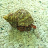 Tree hermit crab