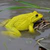 Asian Bullfrog