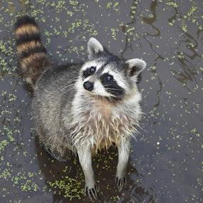 Raccoon Looking for Food by Dave Davenport - Animals Other Mammals ( mammals, wild animal, wild life, wildlife, raccoon, mammal,  )