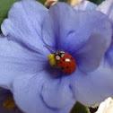 Joaninha - Lady Bug