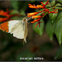 Plain Orange-Tip