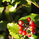 holly (holly bush)