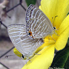 Common Cerulian(mating)