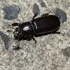 Black Bess Beetle