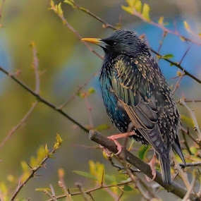 Male Starling. by John Wiseman - Animals Birds (  )
