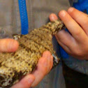 Common Blue-tongued Skink
